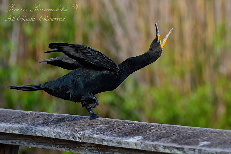 Cormorant, Everglades National Park. South Florida