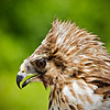 Juvenile Red Shouldered Hawk Portrait