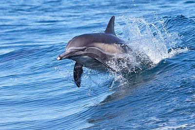 Common Dolphin playing in the wake.