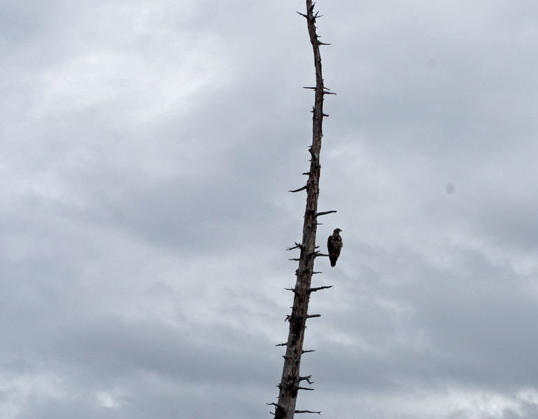 Eagle near Tsulgate Park in Port Hardy