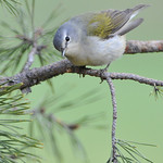 Tennessee Warbler 02
