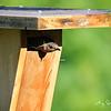 Female Bluebird protecting her nest box