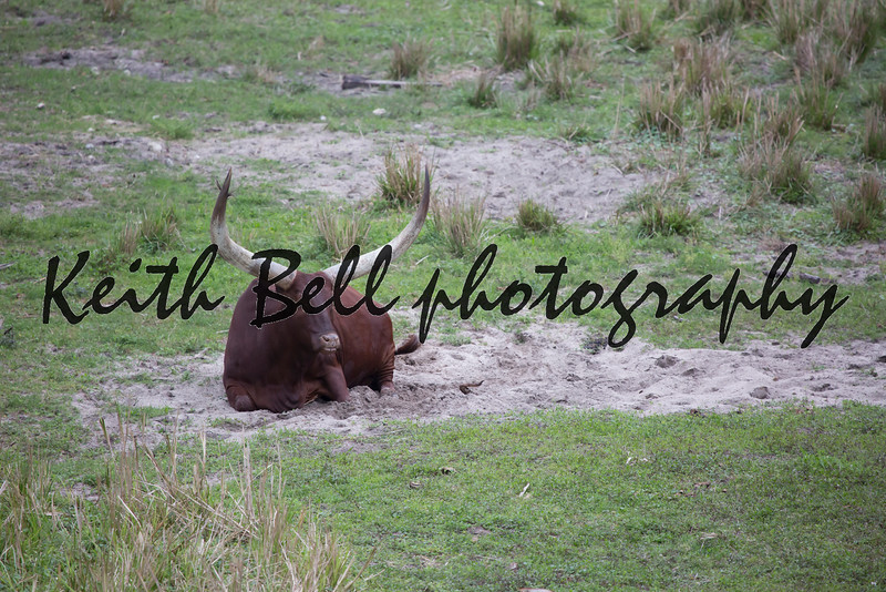 Ankole - Watusi cattle brown laying down