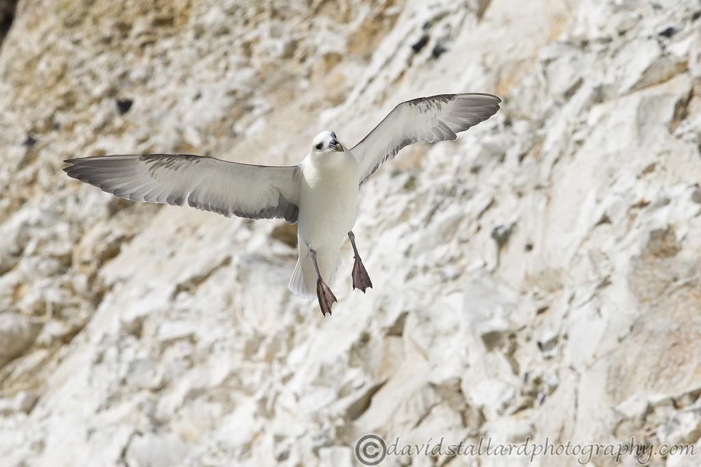 IMAGE: http://www.davidstallardphotography.com/Animals/Wildlife/i-kSBscnd/0/XL/White%20Cliffs%20of%20Dover%2018-04-15%20%200036-XL.jpg