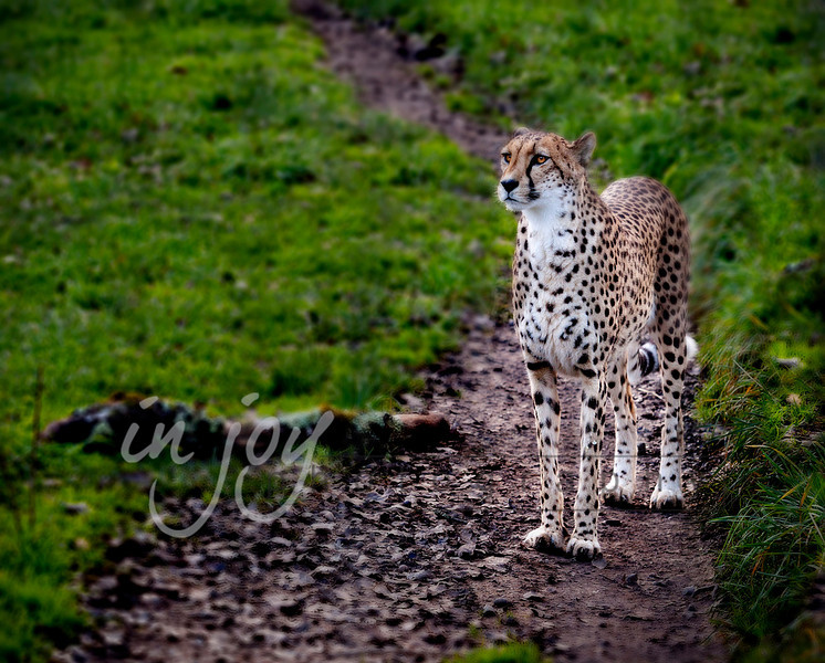 Cheetah from Safari Park West, California.