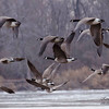 Canadian Geese. Pere Marquette State Park, Illinois.