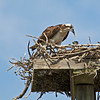 Osprey feeding young in Ding Darling State Park, Sanibel Island, FL