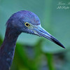 Little Blue Heron.  Everglades Park, South Florida.