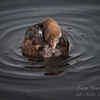 Pied-billed Grebe, South Florida