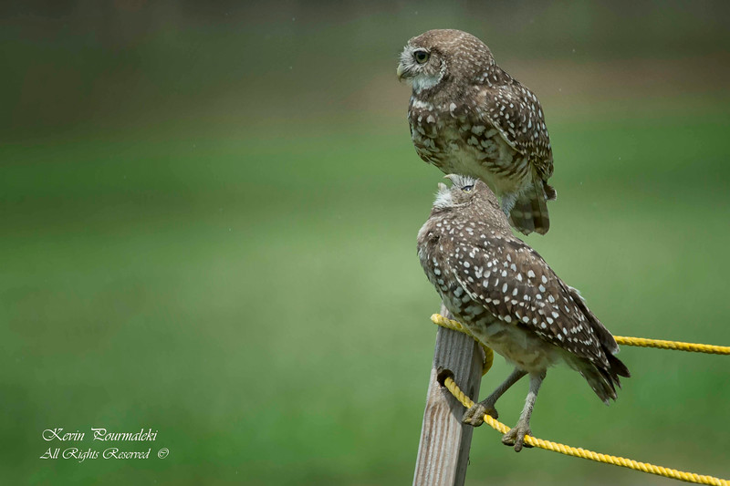 Burrowing Owls. South Florida