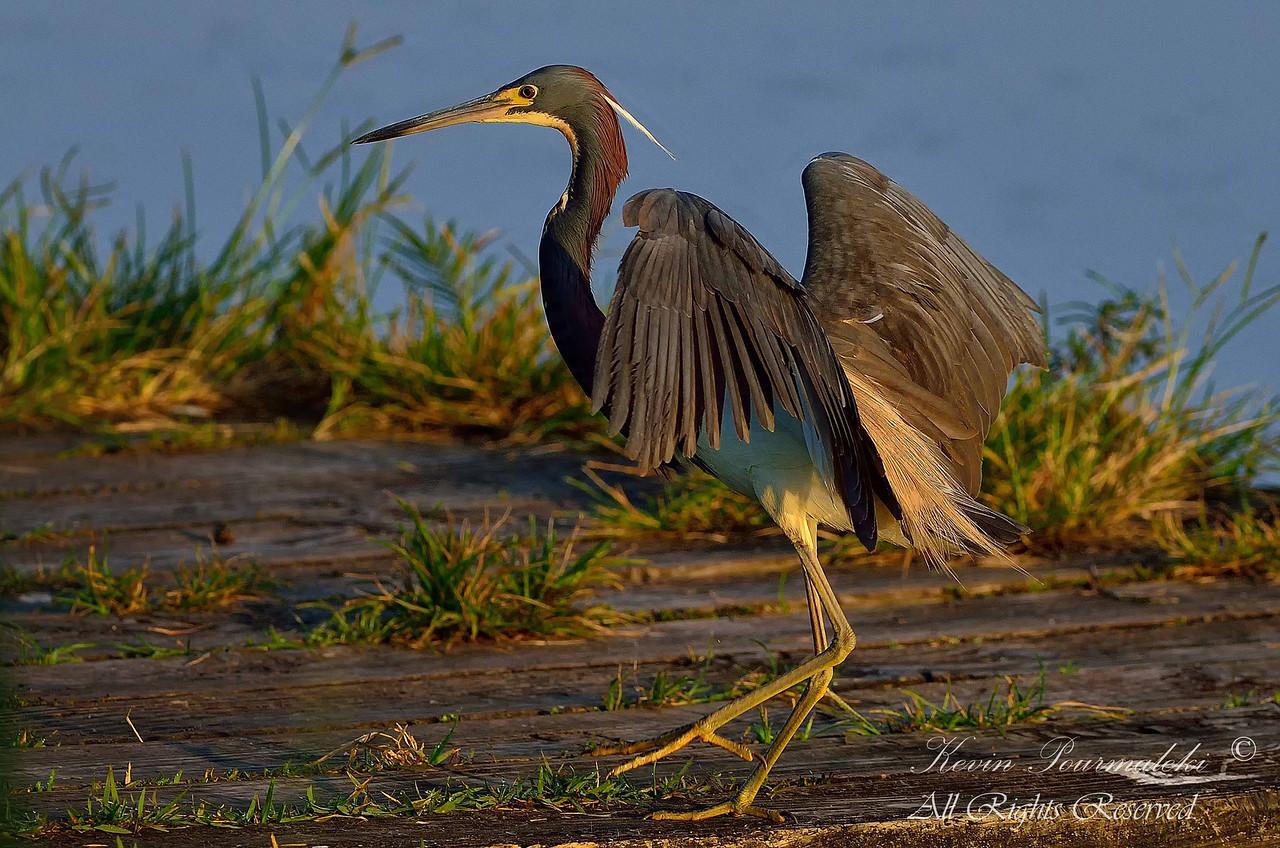Tri Color Heron. South Florida.