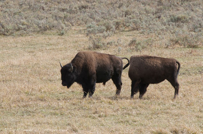 One and a half buffalos.  I caught the 2nd buffalo as she was swinging her head to scratch.
