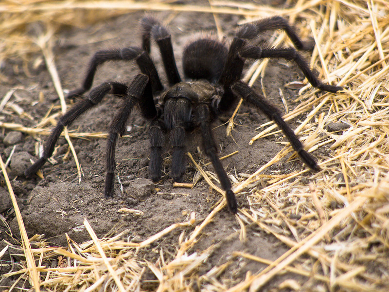 Tarantula in Fall looking for mate on trail in Walnut Creek Openspace