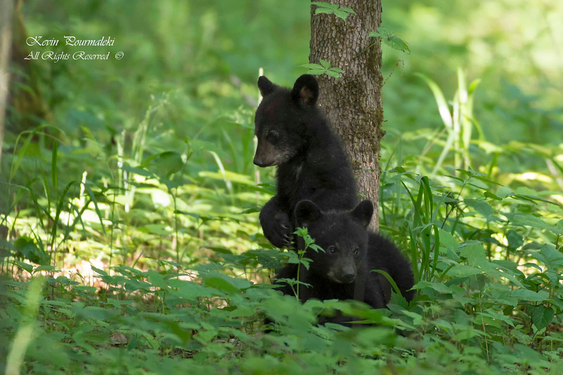 Black Bear Cubs.  Great Smoky National Park, Tennessee.