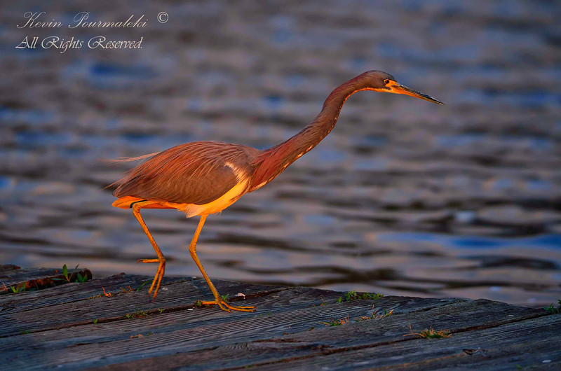 Tri Color Heron, Everglades Park.  South Florida.