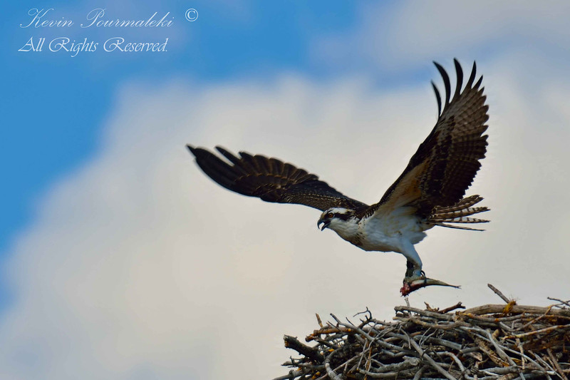 Osprey.  Grand Teton National Park.