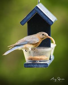 Female Bluebird at feeder
