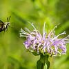 Probobcis Hummingbird Moth