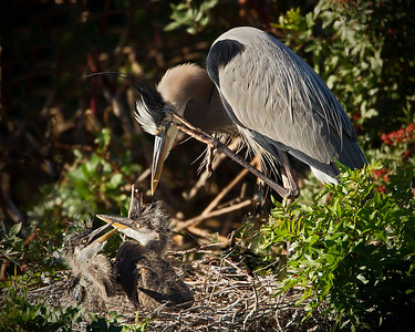 Great Blue Heron Puzzled about Babies...Are they hungry again?