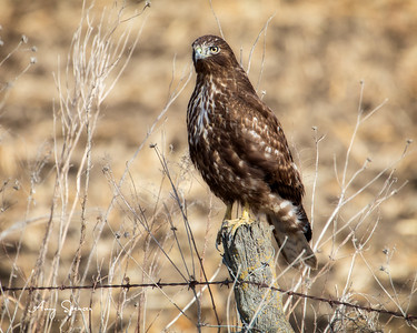 Juvenile Redtailed Hawk