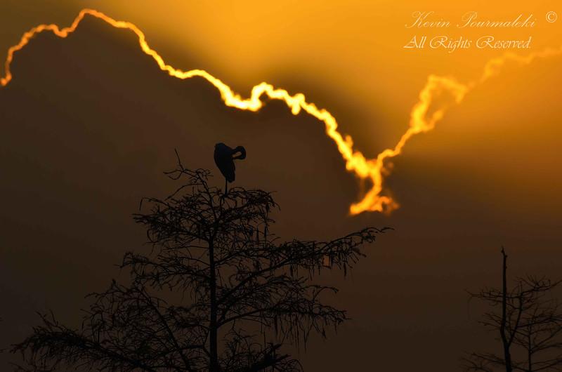 Blue Heron.  Sunrise in Everglades National Park.