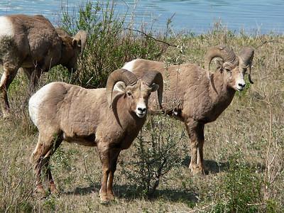 Bighorn Rams  Near Jasper 2007-06-01  .