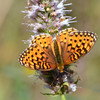 Butterfly, Grand Teton National Park