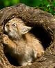 Canada Lynx kitten explores a log.