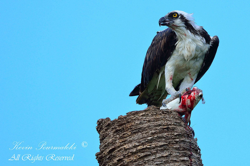 Osprey, South Florida.