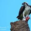 Osprey, South Florida.
