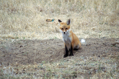 Fox in western Kansas