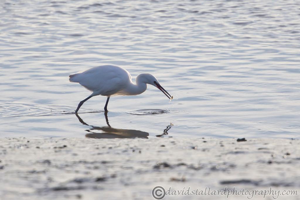 IMAGE: http://www.davidstallardphotography.com/Animals/Wildlife/i-nJC2ZV5/0/XL/Heybridge%20Basin%2014-12-14%20%20002-XL.jpg