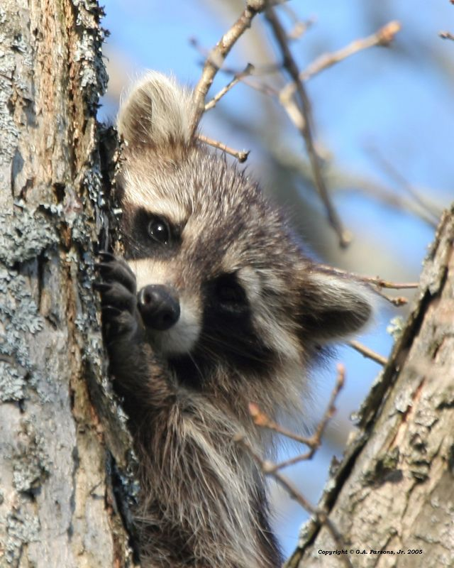 Raccoon - Michigan by Paw Prints Nature & Wildlife Photography