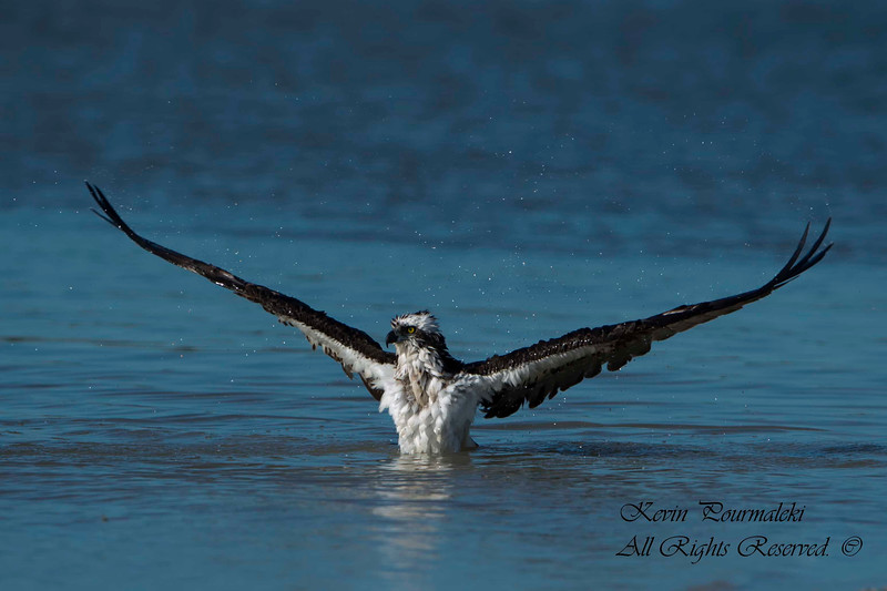 Osprey. Everglades Nation Park, South Florida
