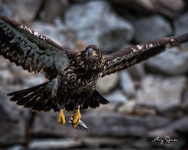 Young eagle with fish