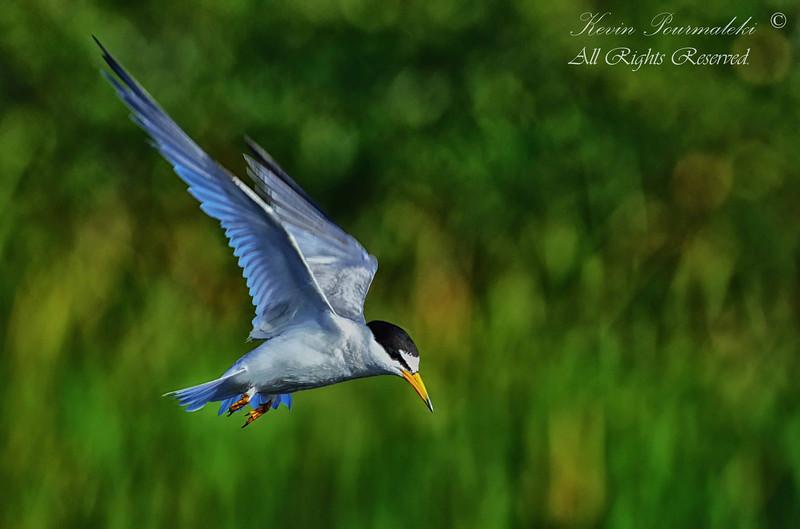 Least Tern. Everglades Park, South Florida.