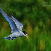 Least Tern. Everglades Park, South Florida.