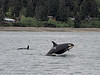 Orca pod off of Whidbey Island