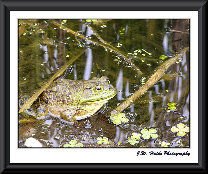 Bull Frog at Oregon Garden