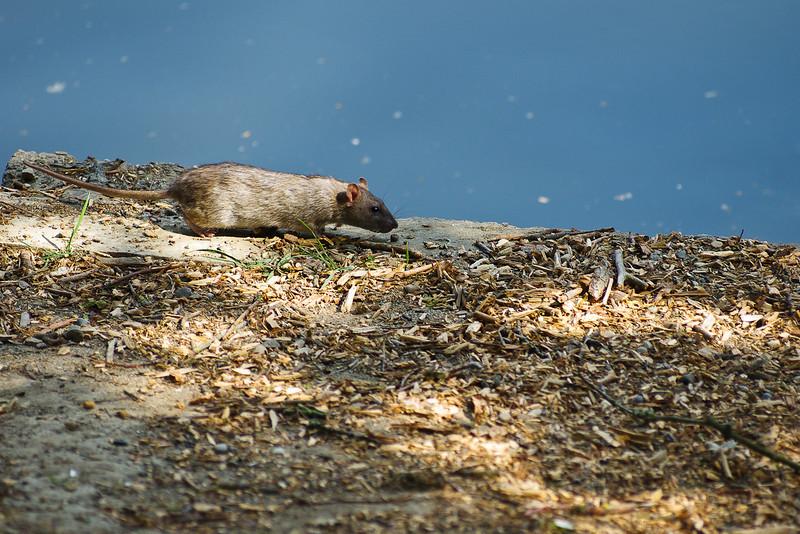 Mr rat in stroll