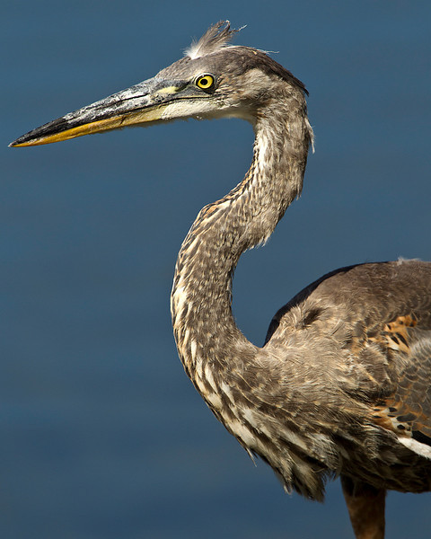 Side View of Great Blue Heron