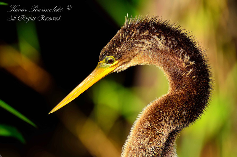 Anhinga. Shark Valley, Everglades National Park, South Florida.