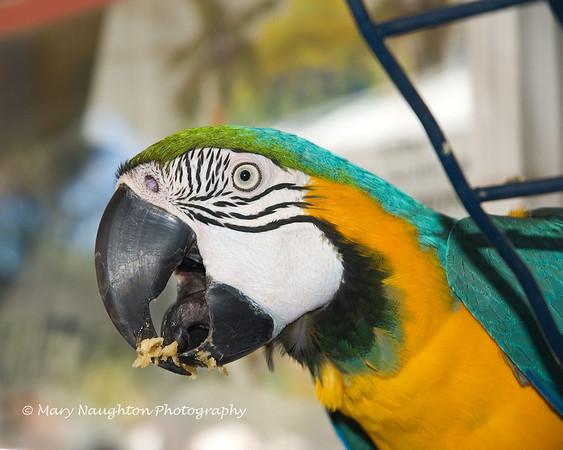 Parrot, Hilton Head Island, SC