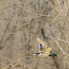 Flying Duck<br /> Fontenelle Forest<br /> Bellevue, NE