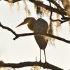 Heron in tree, SNWR