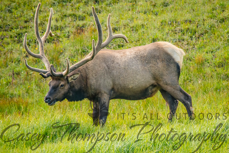 Bull ELk 8-3-18-0993
