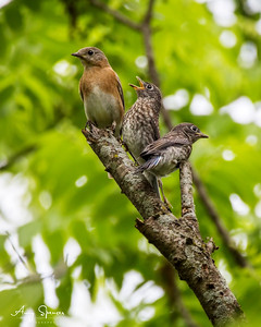 Mother Bluebird with 26 day old fledglings