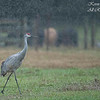 Sandhill Crane caught in winter rain .  Gainesville, Florida.