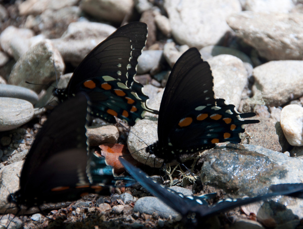 There were about 50 of these butterflies huddled in the damp sand by the creek. Beautiful colors of black, blue and orange.