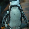 Penguin, Monterey Bay Aquarium,CA